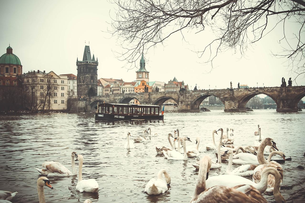 swans in the Vltava River in Prague