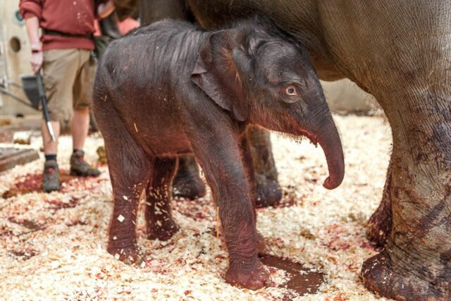 Baby elephant born in Prague today, March 27