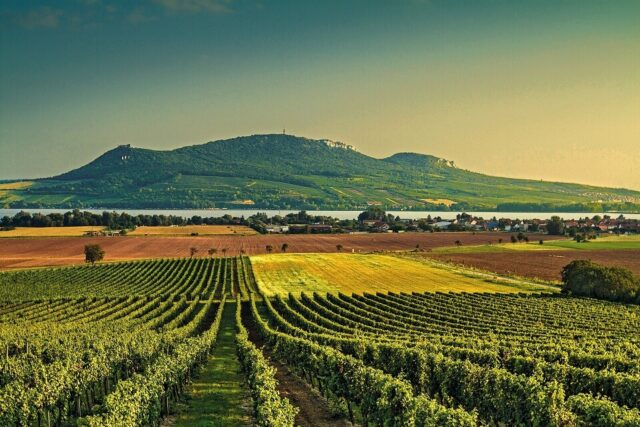 Vineyard in Moravia, wine country in Czech Republic.