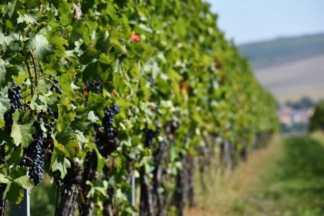 Grapes growing in the sun in Moravia, wine country in the Czech Republic.