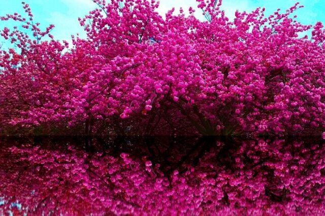 Cherry blossom tree in bloom in spring in Prague.